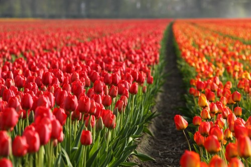 tulips-2546_1920